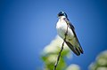 Handsome Tree Swallow (7337738492).jpg