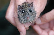 Hastings River Mouse.jpg