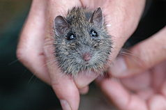 Hastings River Mouse, eine bedrohte Tierart im Nationalpark