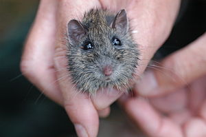 Hastings River mouse - Image: Hastings River Mouse