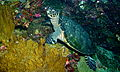 Hawksbill Turtle (Eretmochelys imbricata) (8477697277).jpg