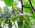 Hazelnut on tree.jpg