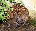 Hedgehog Igel.jpg