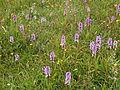 Heel veel Orchideeên op Schiermonnikoog.JPG