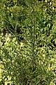 Helianthus angustifolius 8zz.jpg