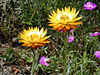 Helichrysum acuminatum