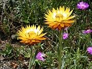 Helichrysum acuminatum.jpg