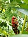 Heliconia imbricata (inflorescense).jpg