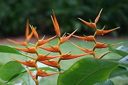 Heliconia latispatha (Starwiz).jpg