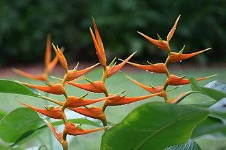 Zingiberales - Image: Heliconia latispatha (Starwiz)