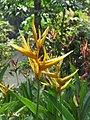 Heliconia psittacorum - Parakeet Flower at Wayanad (2).jpg
