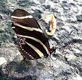 Heliconius charitonia - Flickr - gailhampshire.jpg