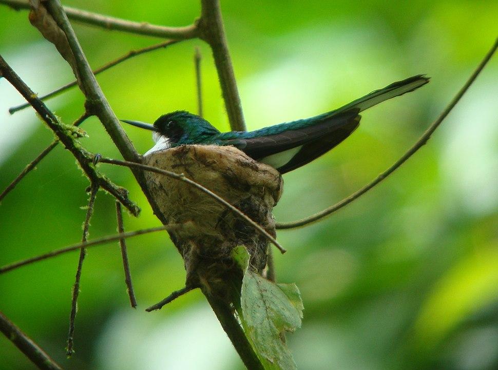 Heliothryx barroti on nest