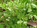 Helleborus foetidus (Kowal garden).jpg