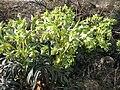 Helleborus foetidus — Plateau calcaire sud Dijon.jpg