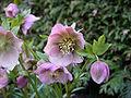 Helleborus orientalis 20070226-1505-10.jpg