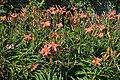 Hemerocallis Neyron Rose in Jardin botanique de la Charme 03.jpg