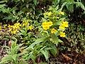 Hemichaena fruticosa Costa Rica.jpg