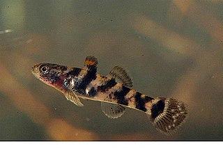 <i>Hemigobius hoevenii</i> Species of fish