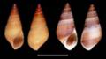Hemisinus cubanianus shell.png