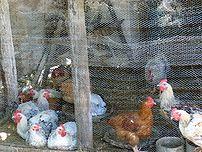 Chicken behind chicken wire in a hen house