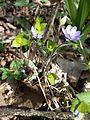 Hepatica nobilis sl5.jpg