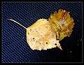 Herbstlaub - Flickr - Stiller Beobachter.jpg