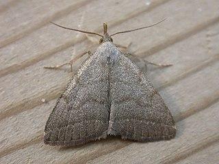 <i>Herminia</i> Genus of moths