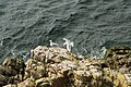 Herring Gull - Sølvmåge - Larus argentatus - panoramio.jpg