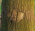 Herstelde wond van beschadiging veroorzaakt door een landbouwwertuig. Zomereik (Quercus robur). Locatie, Natuurterrein De Famberhorst 03.jpg
