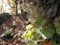 Heuchera parviflora.jpg
