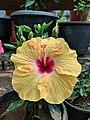 Hibiscus rosa-sinensis 121.jpg