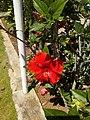 Hibiscus rosa sinensis hybrid-39-louis villa-yercaud-salem-India.jpg