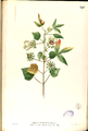 Hibiscus surattensis Blanco2.347-original.png