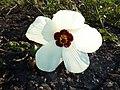 Hibiscus trionum, blom, d, Springbokvlakte.jpg