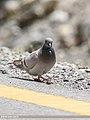 Hill Pigeon (Columba rupestris) (28330555389).jpg