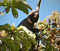 Hoffman's Two-toed Sloth. Choloepus hoffmanni in Cecropia tree - Flickr - gailhampshire.jpg