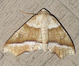 Hollow-spotted Plagodis - Hodges 6844 (Plagodis alcoolaria).jpg