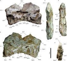 Photos of the Angaturama limai fossil snout from various angles