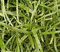 Homalocladium platycladum 03 ies.jpg