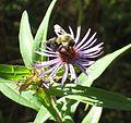 Honeybee (2943711988).jpg