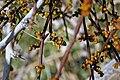 Honeybee on Mistletoe.jpg