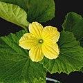 Honeydew melon yellow flower.jpg