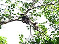 Hoolock Gibbon Family IMG 4580.jpg