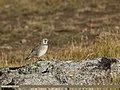Horned Lark (Eremophila alpestris) (15708849918).jpg