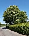 Horse chestnut trees in Brodalen 1.jpg