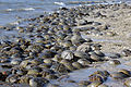 Horseshoe Crabs (4035246616).jpg