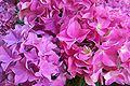 Hortensienblüten.jpg