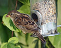 House Sparrow at feeder, Redhill.jpg