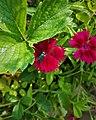 Housefly on Sweet William Plant 163445.jpg